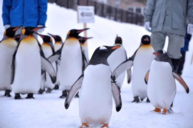 企鵝遊行:將遊客「圍起來」比把企鵝關起來效果更好;企鵝出外放風時,與遊客的互動更為親密,也讓小朋友雀躍不已;北海道的嚴寒雪地原本不利條件,轉換用到企鵝遊行時,卻成為珍貴資源。(攝影:Tasuku SOMA/創用CC授權)