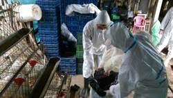 屏東九如蛋雞場驗出禽流感 撲殺1萬隻蛋雞