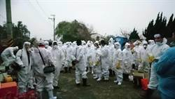 楊梅1畜牧場確診禽流感  動保處撲殺7500隻鴨