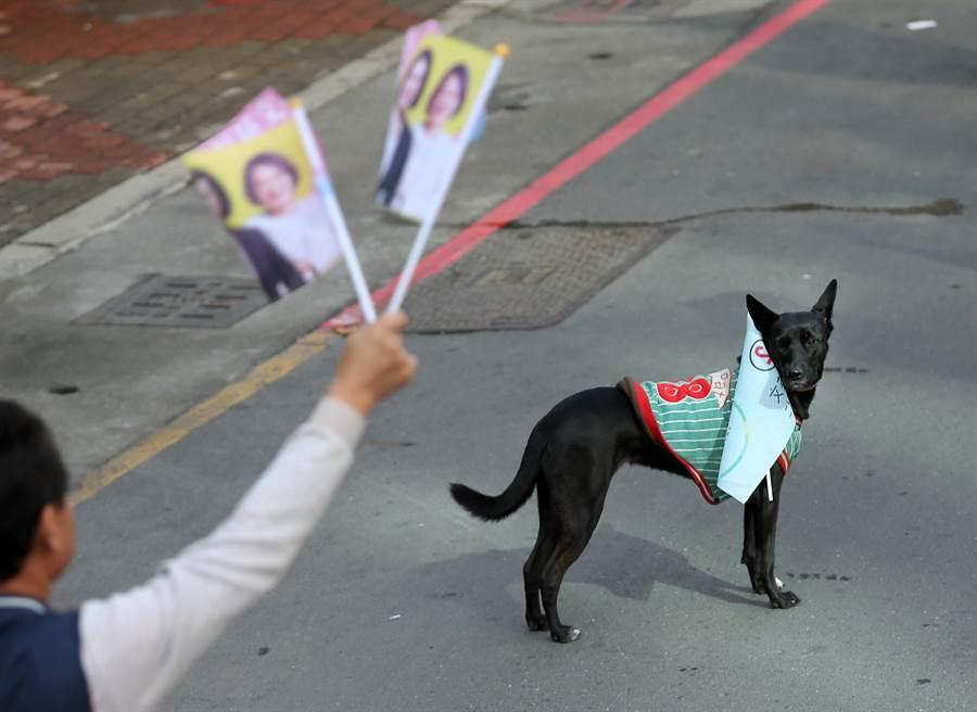 1隻被主人綁上小英旗幟的黑狗站在路口好奇看著眾人揮旗力挺。(王錦河攝)