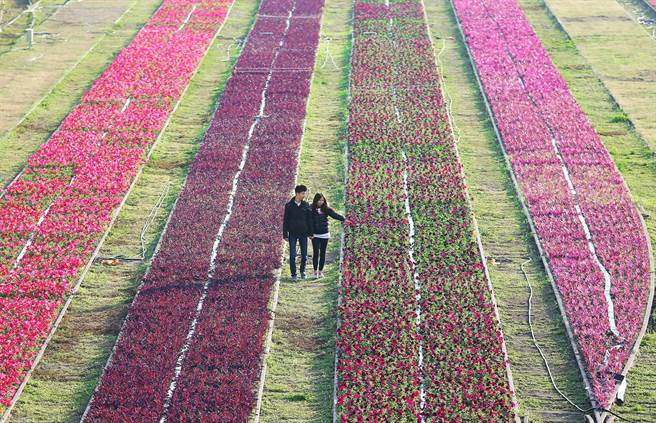 農曆春節將至,高雄市哈瑪星鐵道文化園區原本草坪枕木鐵軌之間空地現正種植各種花卉,吸引1對情侶漫步花海間。(王錦河攝)