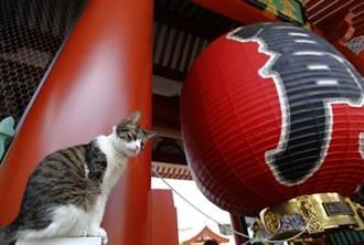 日本人改瘋貓 愛貓經濟效益逾6千億元