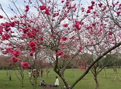 春節過後櫻花盛開 奧萬大及暨大賞櫻好去處