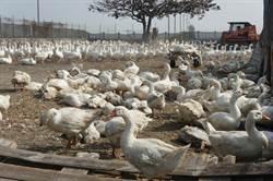 禽流感肆虐 雲林縣鵝從百萬隻撲殺剩7萬隻