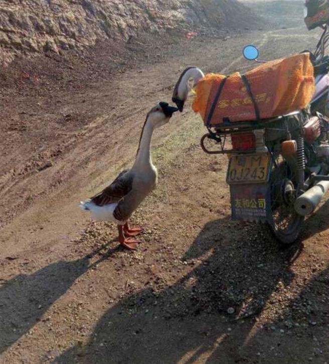 兩隻吻別鵝在網路爆紅,但仍難逃被宰殺吃掉命運。(取自浙江在線)