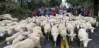 清境奔羊節萬羊奔騰 遊客High翻天