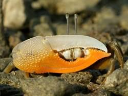 興大發現3種台灣招潮蟹新紀錄種