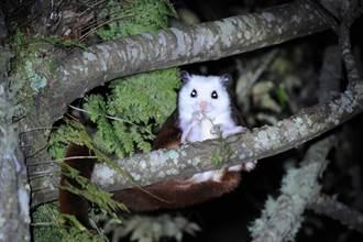 雪山森態小旅行 夜觀白面鼯鼠