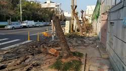 員林高中路樹修過頭 20年台灣欒樹遭攔腰砍光