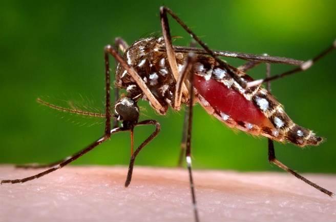 一隻正在吸血的蚊子。(美聯社)