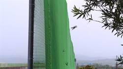 紫斑蝶雨前吃力遷徙 三年來最大量