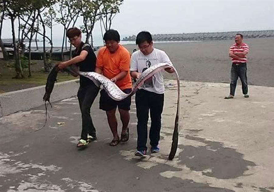 東港鎮海沙灘驚見長達3米地震魚,3人合力搬運上岸。(林和生翻攝)