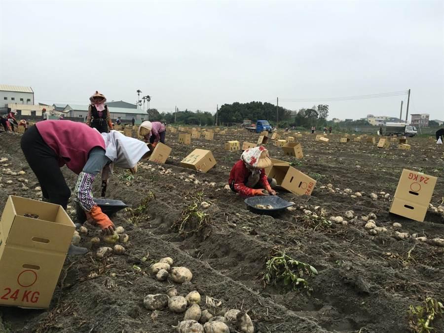 斗南鎮馬鈴薯產量占全台三分之一,採收女工大部分是70歲以上的阿嬤、阿祖,今年馬鈴薯減產,她們的體力也間接造成失收。(周麗蘭攝)
