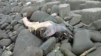 石門海岸驚見3公尺死魚 魚屍沾滿油污