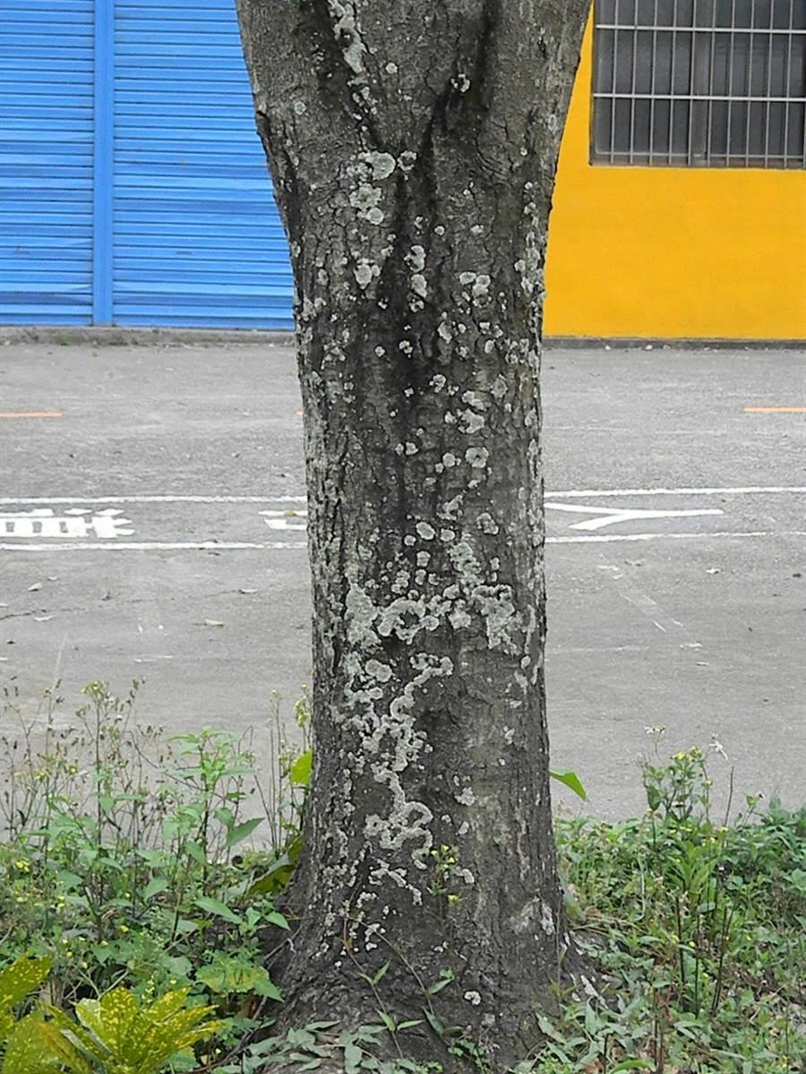 樹皮遭地衣寄生,顯示樹木疑染褐根病,體質虛弱。(王文吉攝)