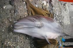 弗氏海豚擱淺花蓮北濱海岸 搶救不及身亡