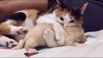 「來給阿姑親一個!」 霸道花貓緊抱小狗不放超療癒
