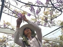 上萬坪紫藤花園 咖啡館打造浪漫紫步道