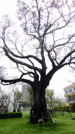 中市新工法搶救 染病老榕樹已冒嫩芽