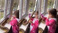 驚! 小女孩和蟒蛇親密玩耍 網友:好像在抱狗一樣