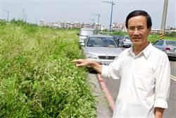 銀膠菊蔓延嘉市興安街 長到150公分高