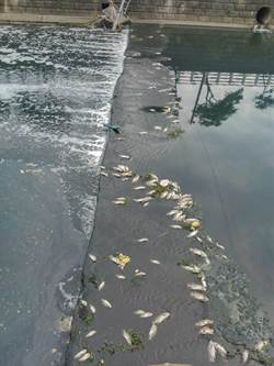 梧棲大排又驚見魚群暴斃