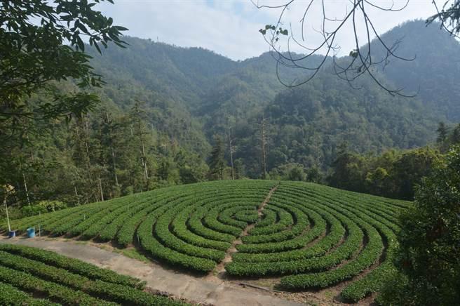 日月潭深山2年前出現環香狀茶園,美麗又吸睛。(沈揮勝攝)