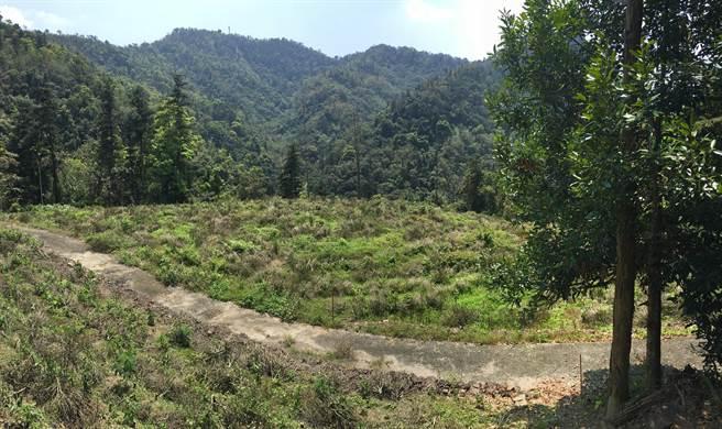 不過這處茶園因涉占林班地已遭剷除,與原先景致呈強烈對比。(沈揮勝攝)