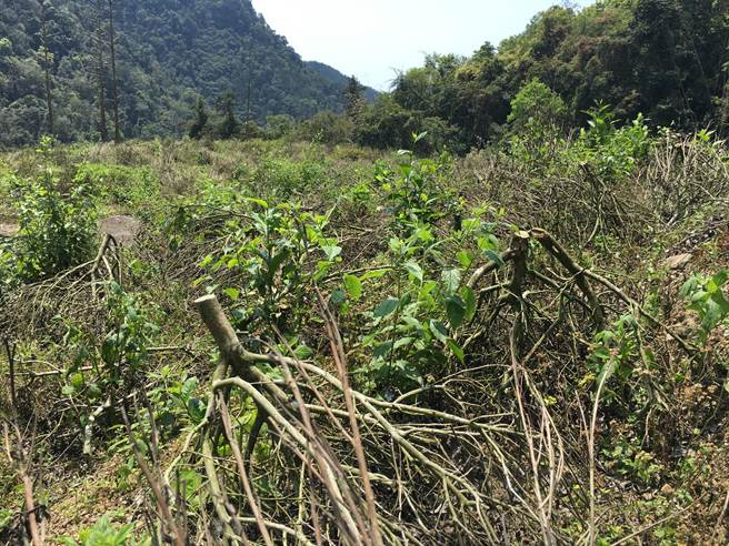 茶樹被剷除的現況。(沈揮勝攝)
