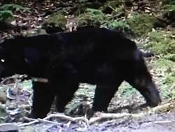 立委提案開放狩獵 黑熊媽媽諷「斷掌」悲歌
