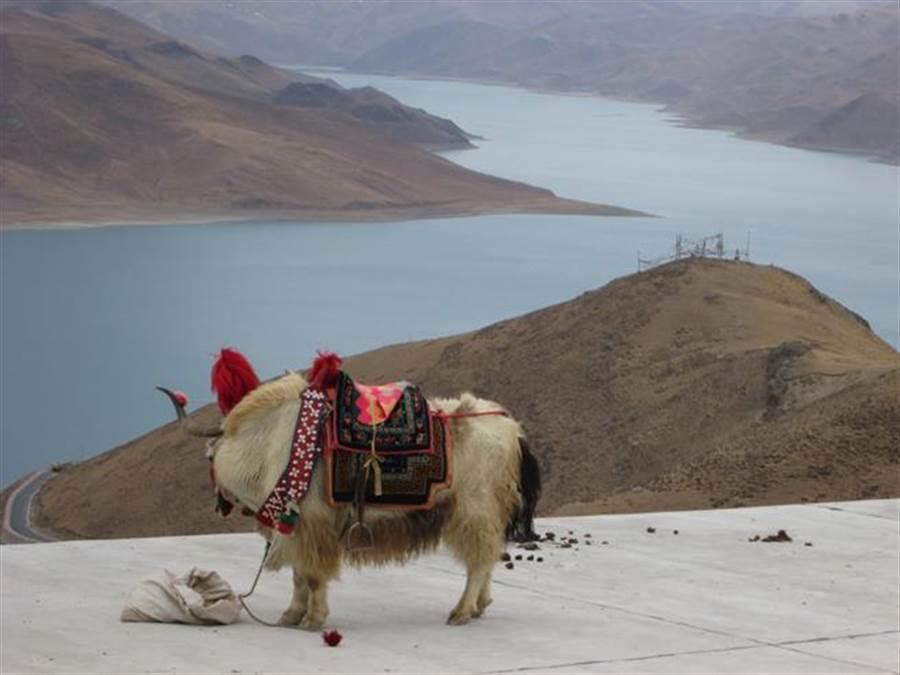 不要以為犛牛都是黑色的,白色的犛牛看來格外神秘。(圖/時報旅遊提供)