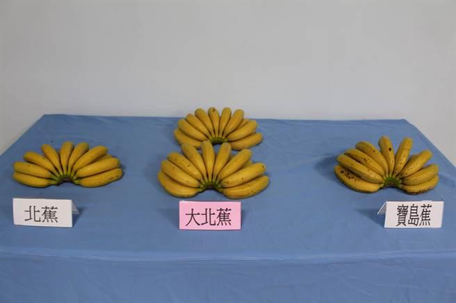 台灣香蕉研究所利用體細胞變異育種技術,以北蕉為母本,成功選育出新品種「大北蕉」,「大北蕉」抗病性強,預計9月供應種苗推廣種植。(香蕉研究所提供)中央社記者郭芷瑄傳真  105年4月28日