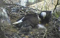 白頭鷹給小鳥們餵食 民眾卻發現恐怖畫面!