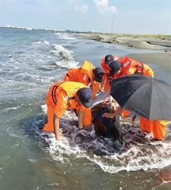 短肢領航鯨擱淺高雄沙灘 官兵灑水撐傘搶救