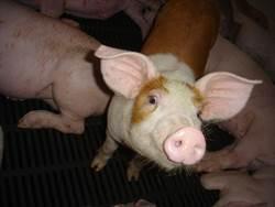 雲林縣府:堅決反對含瘦肉精美豬進口