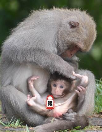 本命年增產報國?塔塔加母猴人手一囝仔