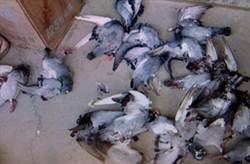 擄鴿勒贖遇討價還價  賽鴿全撕票報復