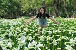 金門植物園新亮點 2萬朵百合飄香