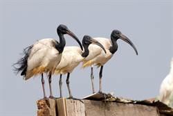 大型鳥埃及聖䴉急速繁衍千隻 恐威脅本土生態