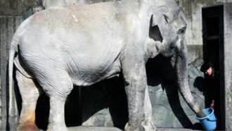 日本最老大象花子去世