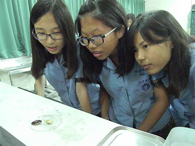蟑螂受制於棉繩控制,無法行動自如,略削減女學生恐懼,近距離觀察蟑螂覓食行為。(王文吉攝)