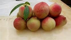 陽明山水蜜桃熟了 7月中前上山採果樂