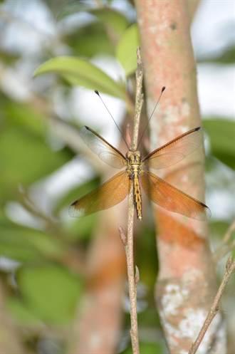 蜻蜓怎長觸角?專家蘇健輝:牠叫長角蛉