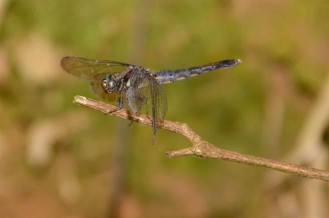 蜻蜓頭上,並無類似長角蛉那樣的觸角。(沈揮勝攝)