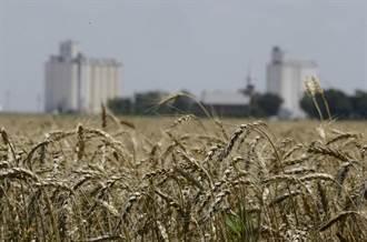 聯合國:極端氣候導致榖物產生更多有害毒素