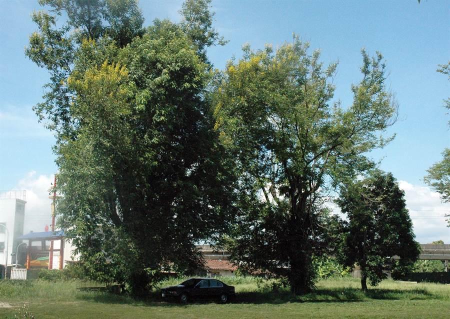 中午氣候炎熱,常見汽車在樹蔭下休息。圖中汽車與新聞事件無關。(林和生攝)