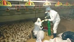枋寮爆新型禽流感 漏夜撲殺4萬餘白肉雞