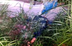 沙鹿老翁倒栽蔥田裡 不明原因喪命