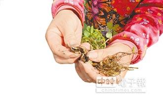 採收都是爛果 數十公頃受害 夭壽金針蟲 偷啃北港花生果