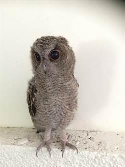 小貓頭鷹疑受傷  竹市動物園:學飛掉落